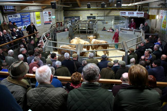 Cracking trade at Great New Year cattle sale. Picture: Moule Media