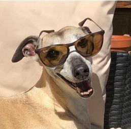 Lily, a Skipton whippet, has been named most stylish summer pet in UK