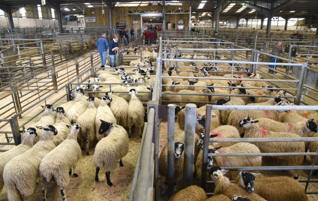 Store Lambs in the pens at Skipton Auction Mart. File photo