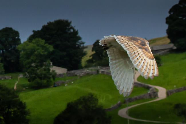 A barn owl taking flight at the top of Wharfedale, by Jamie Pickles