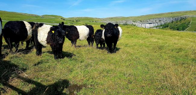 Belted Galloways above Malham Cove