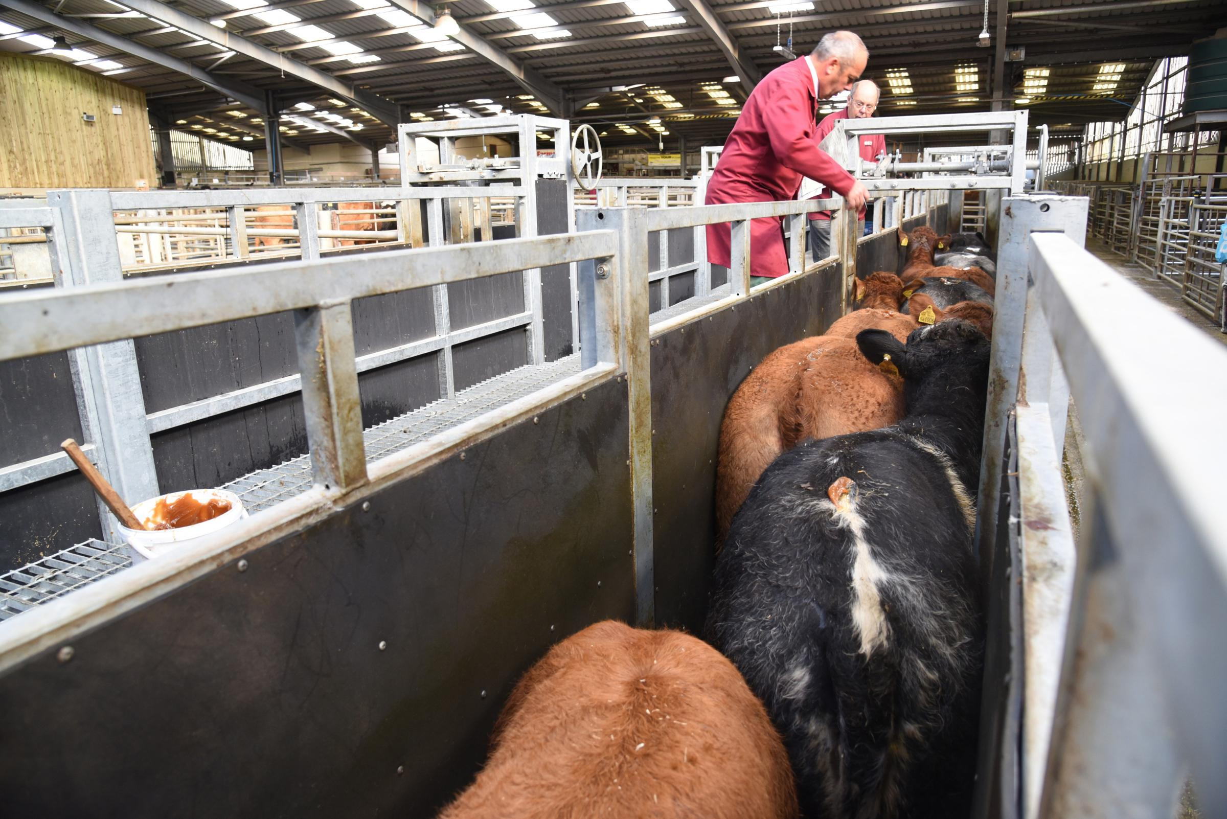 Store cattle trade stays buoyant at Skipton Auction Mart