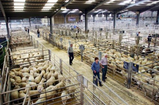 Multiple buyers for prime sheep