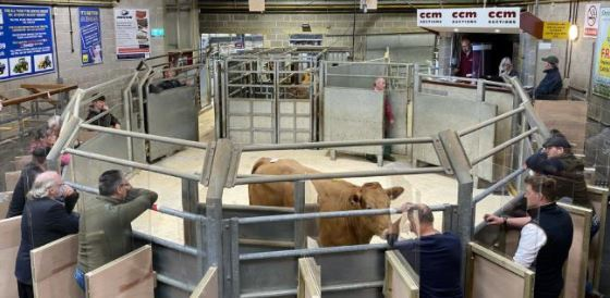 Clean cattle trade still strong at mart