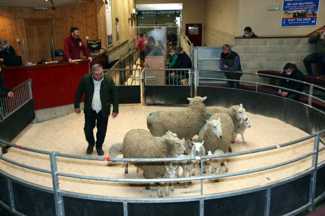 Ewes and lambs in the sale ring at Skipton Auction Mart