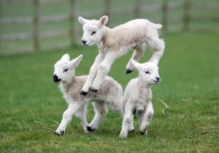 A trio of new-born lambs are pictured enjoying their first week of life at the Thornton Hall Country Park visitor attraction, Thornton-in-Craven.