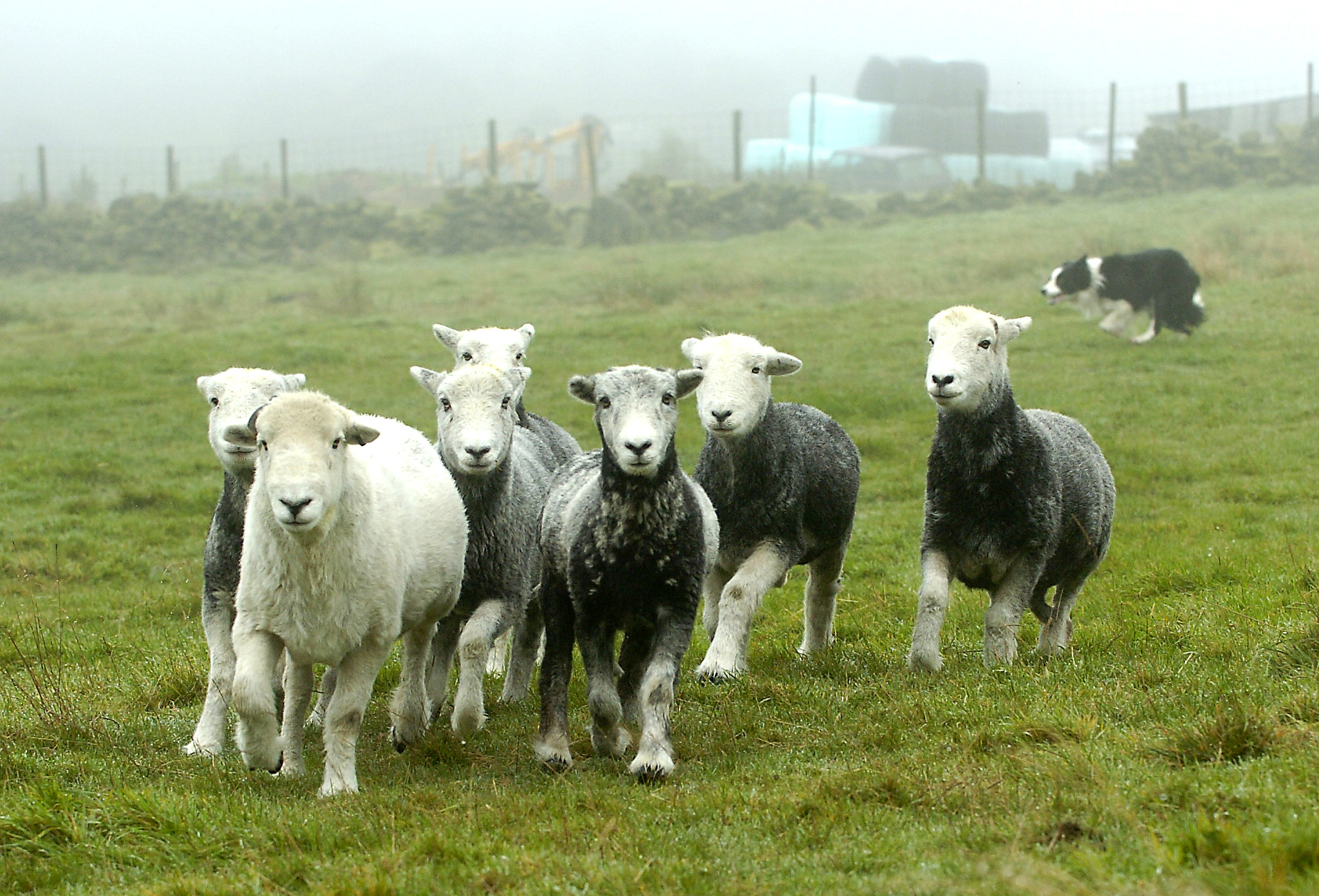 Sheepdogs play an important role in farming