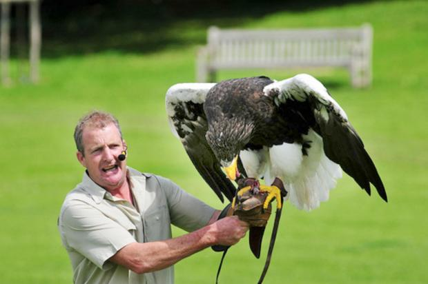 Craven Herald: Nikita, pictured here with falconer Chris O'Donnell