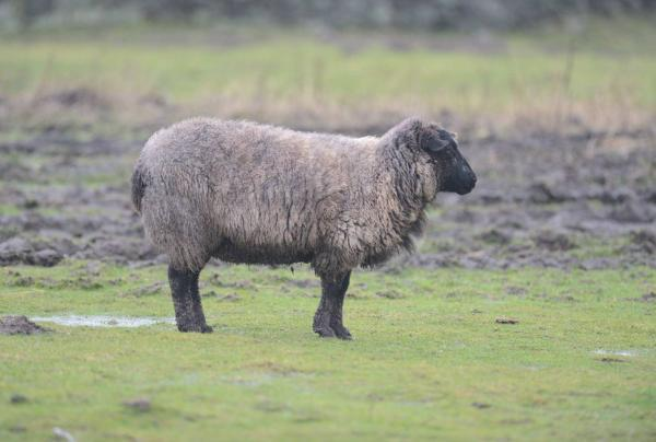 Sheep thefts on the rise in Craven