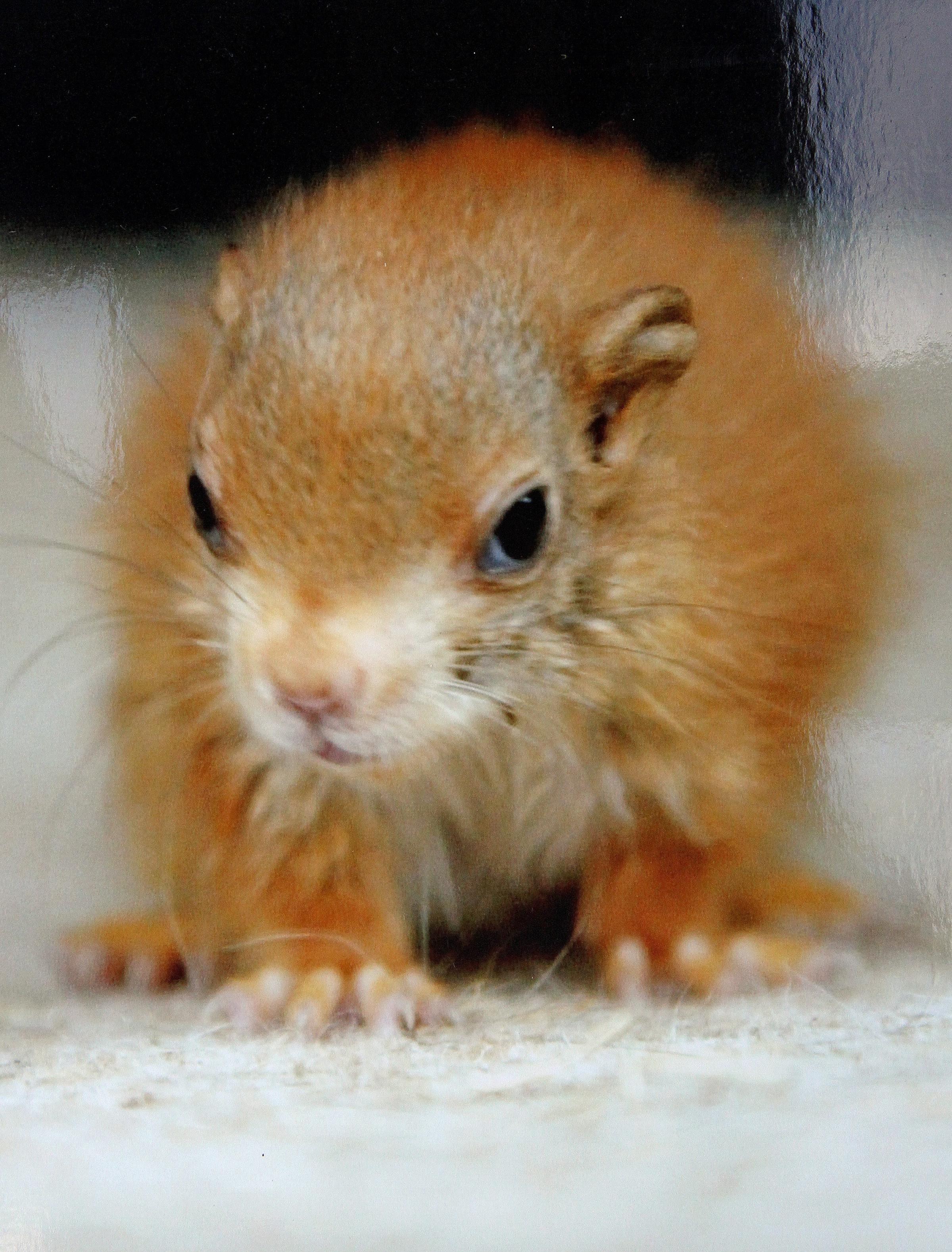 Pair of red squirrels born at Kilnsey Park Estate colony