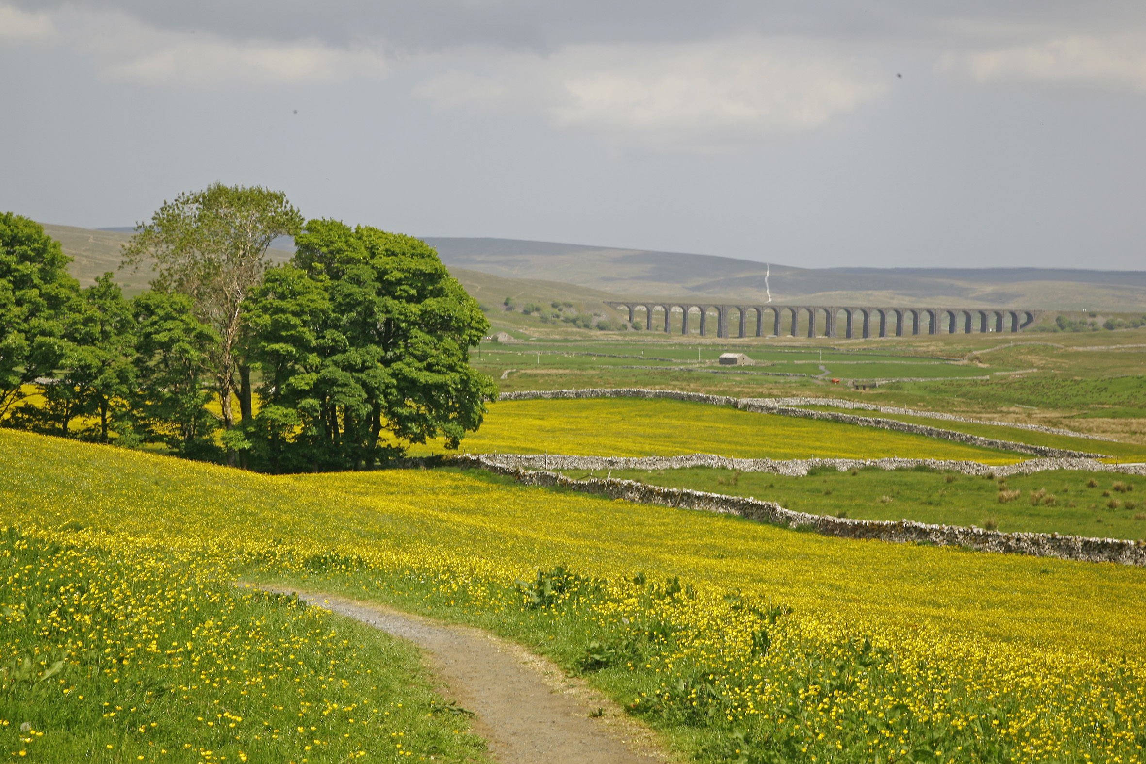 Buttercups carpet the fields near the iconic Ribblehead Viaduct. Picture by Philip Winstanley