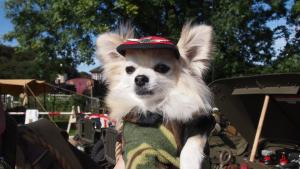 Craven Herald: More than 4,000 visitors and re-enactors flocked to Embsay and Bolton Abbey Steam Railway on Saturday and Sunday to take part in a 1940s weekend... including this little Chihuahua.