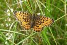 A Small Pearlbordered Fritillary on Swarth Moor in Ribblesdale, picture by Ian Court, Yorkshire Dales National Park Authority