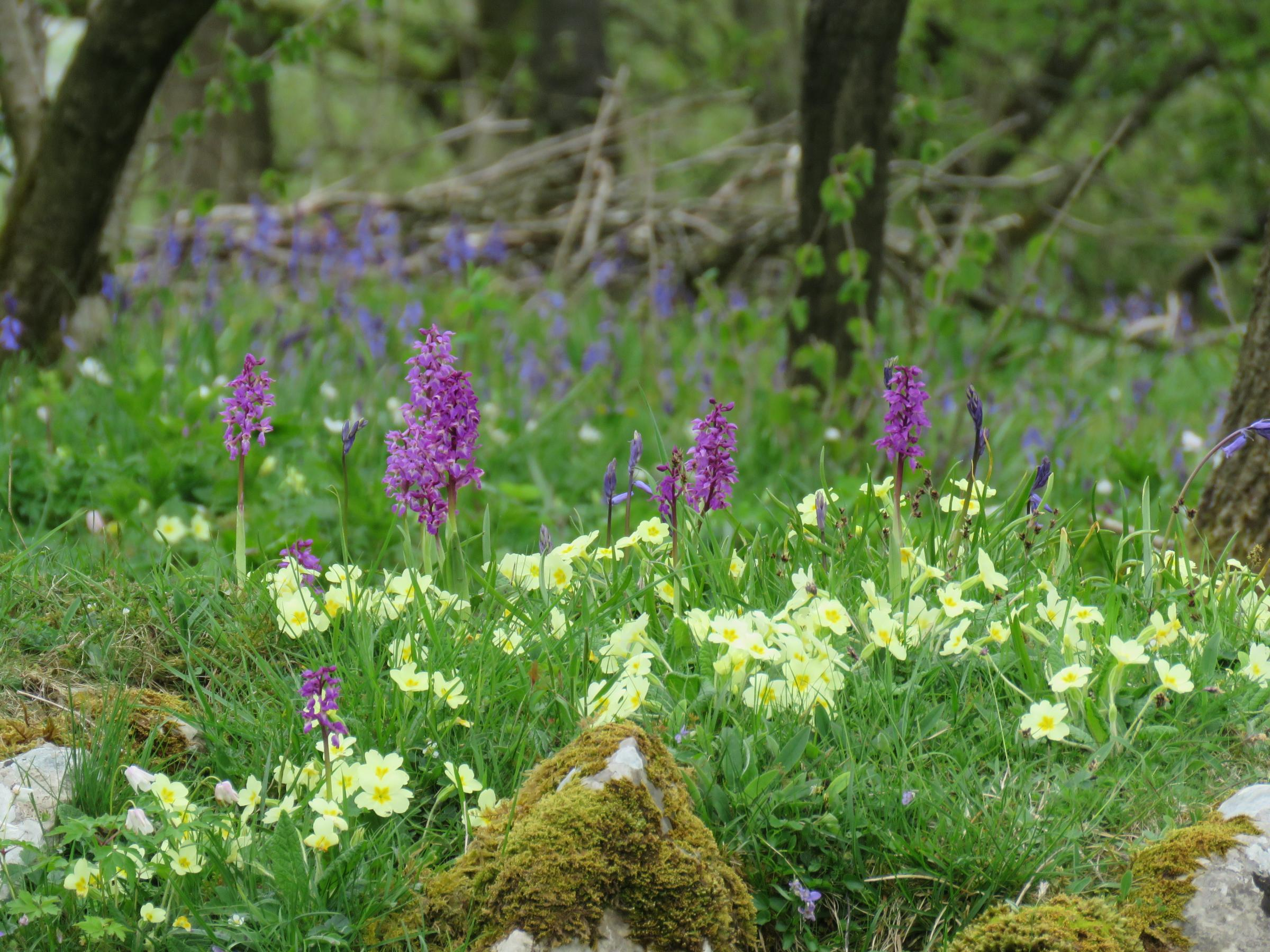 Flowers including primroses, orchids, violets and bluebells in Oxenber Wood at Feisor, by Elizabeth Robertshaw of Long Preston