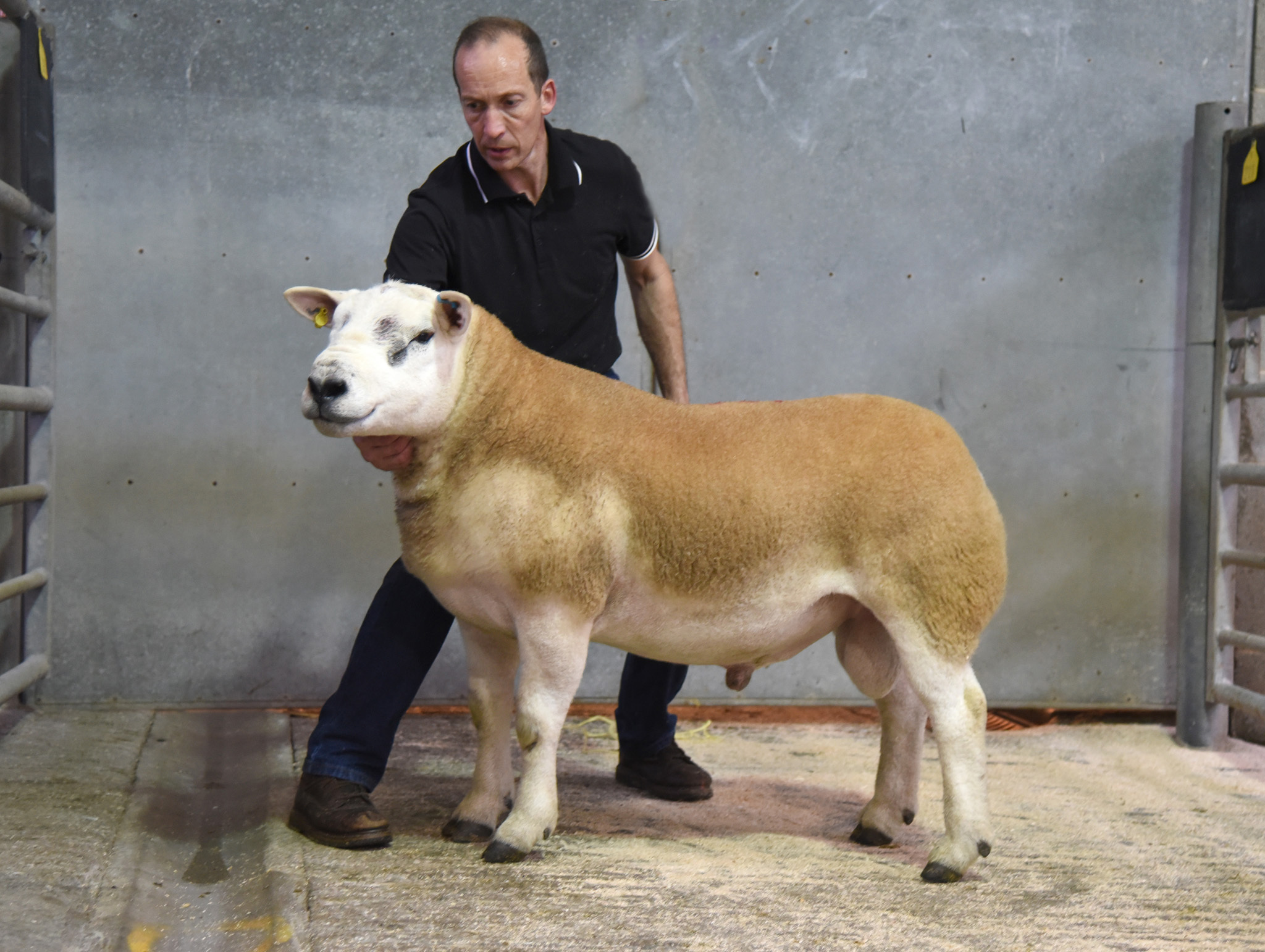 David Towell with his 3,000 guineas top price multi-breeds Texel shearling ram, which was the standout performer on price at Skipton's pedigree sheep showcase                 Picture By Adrian Legge Photography
