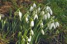 First snowdrops- in nearly 50 years of recording locally, these snowdrops on 8 January in Hazlewood are the joint earliest I have ever recorded.By Roger Nelson of Bolton Abbey
